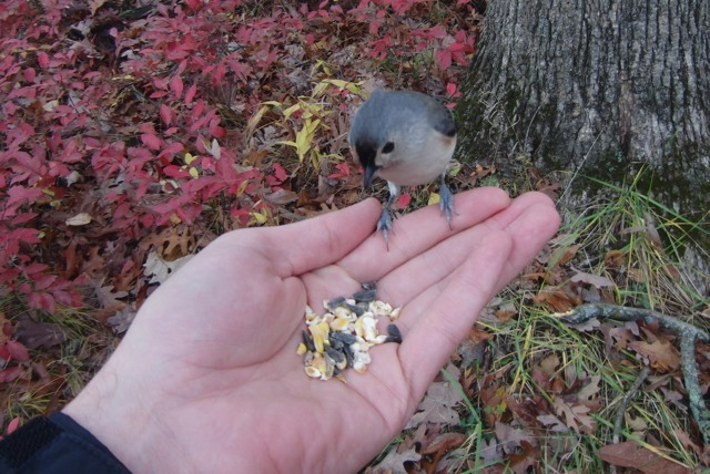 A tufted titmouse on my hand.