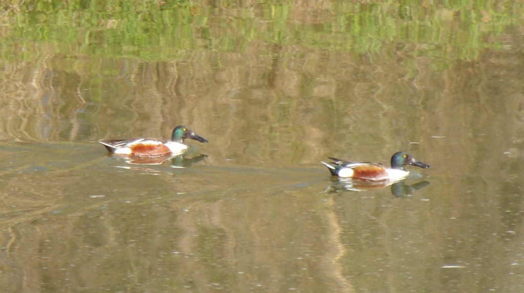 Two male northern shovelers at WRL.