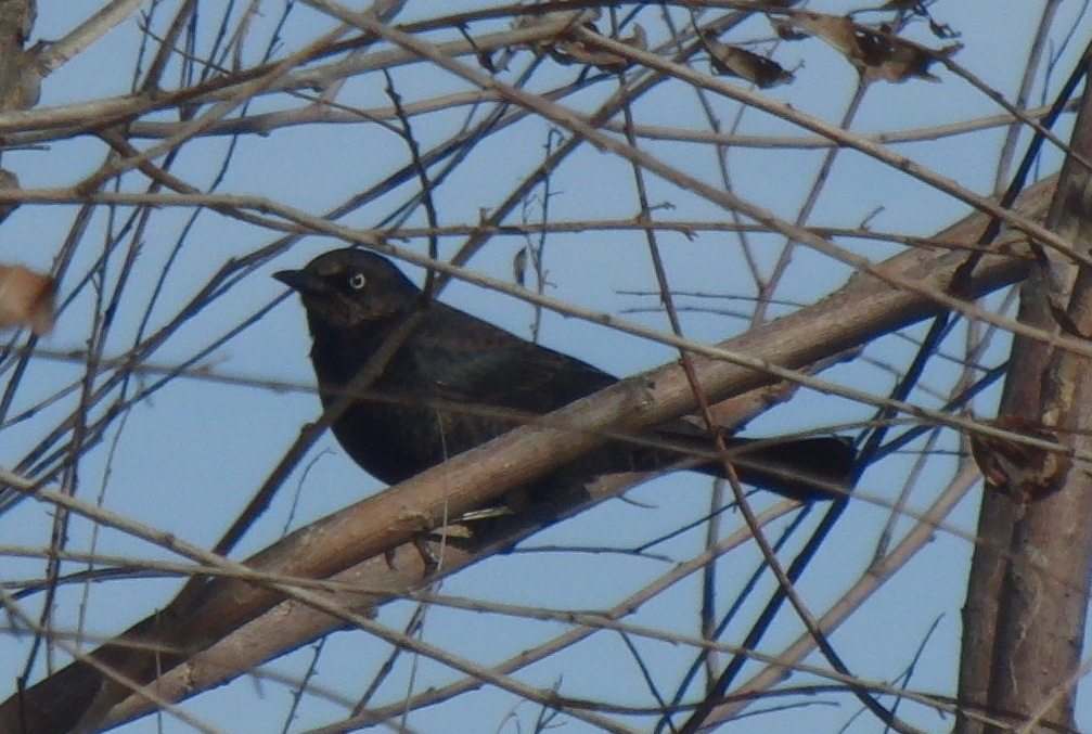 A rusty blackbird, one of six lifers at Village Creek.