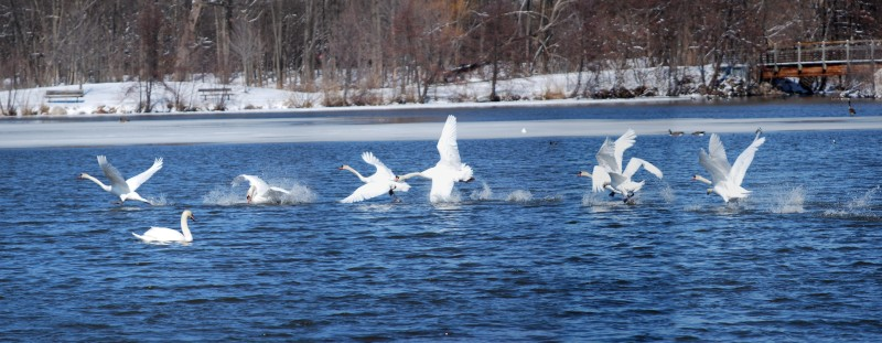 Two swans running and flapping across Geddes Pond in Ann Arbor, MI