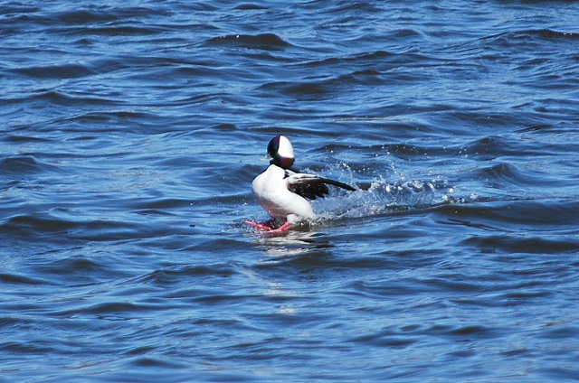 Buffleheads are a small type of duck, adorned with a striking band of green and purple and black. This one was too far off for a truly good shot, but I did catch it at just the right time.