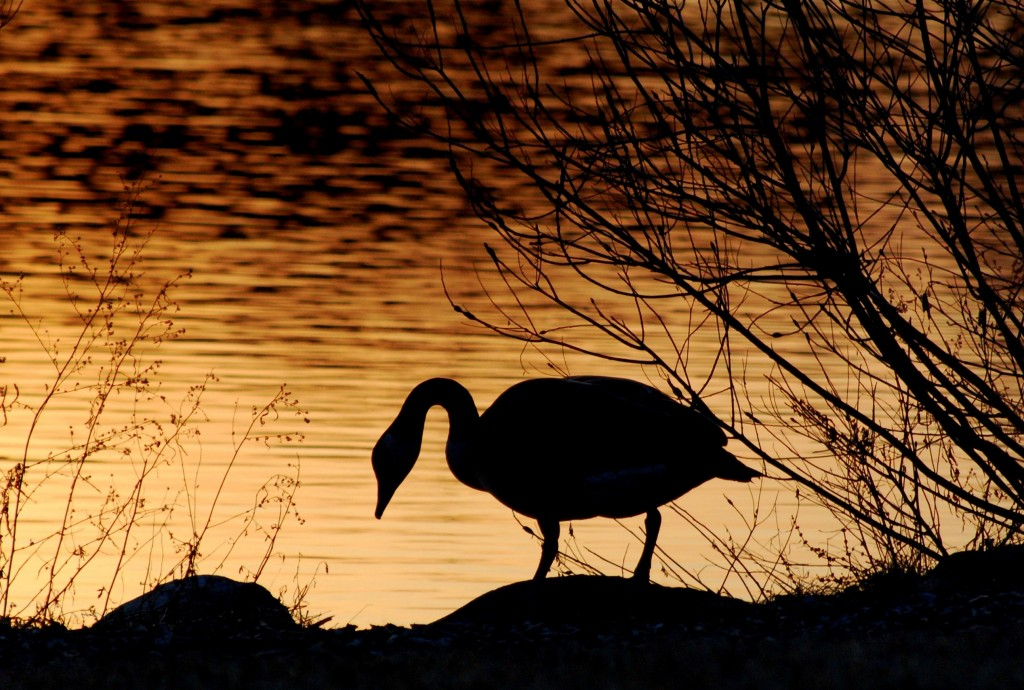 A Canada goose enters the water at sunset.