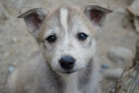 One of the puppies at Canyon Huskies