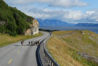 Reindeer on the road along the Alta Fjord