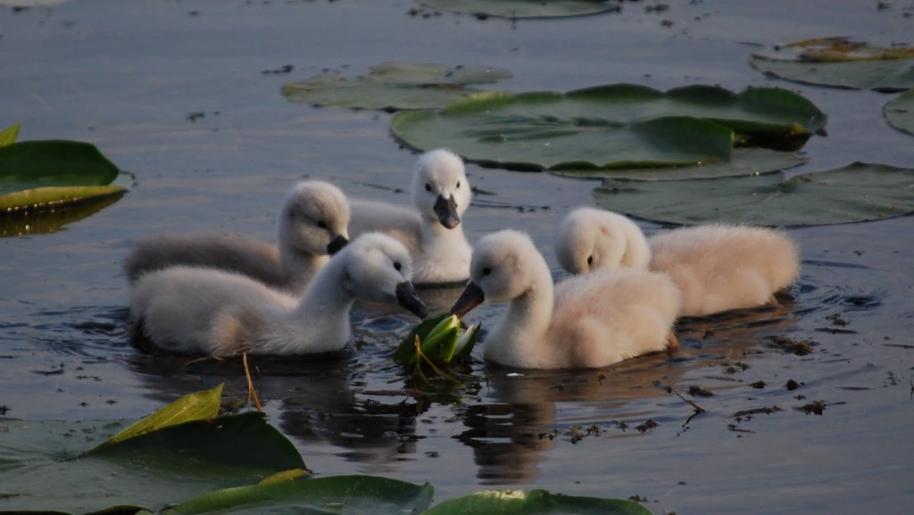 Cygnets investigating a water lily flower