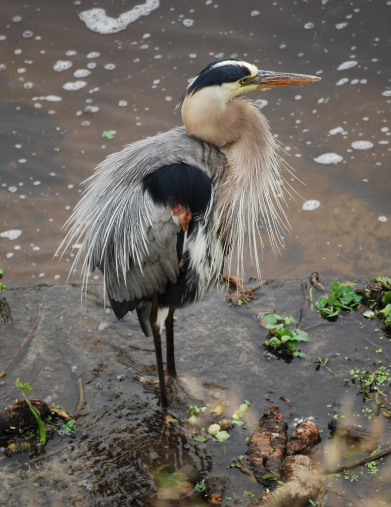 A great blue heron (Amerikaanse blauwe reiger) in breeding plumage.