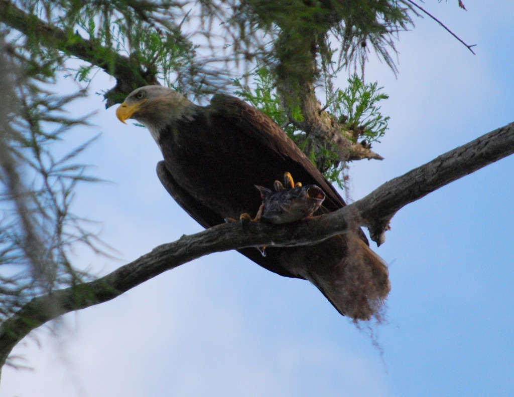 Perhaps my favorite picture of the trip: a bald eagle (Amerikaanse zeearend) with a freshly caught fish in its claws.