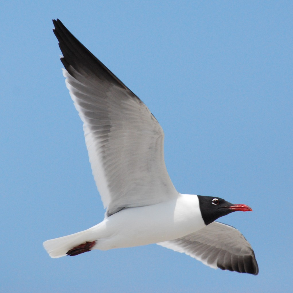 One of the hundreds of resident laughing gulls (lachmeeuwen) patrolling the beach in search of food.