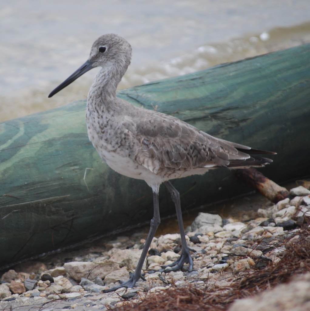 A willet on the western side of the island.
