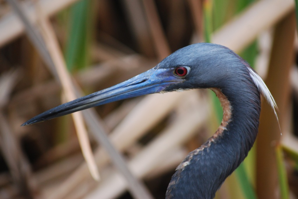 A close-up of a tricolored heron (driekleurenreiger).