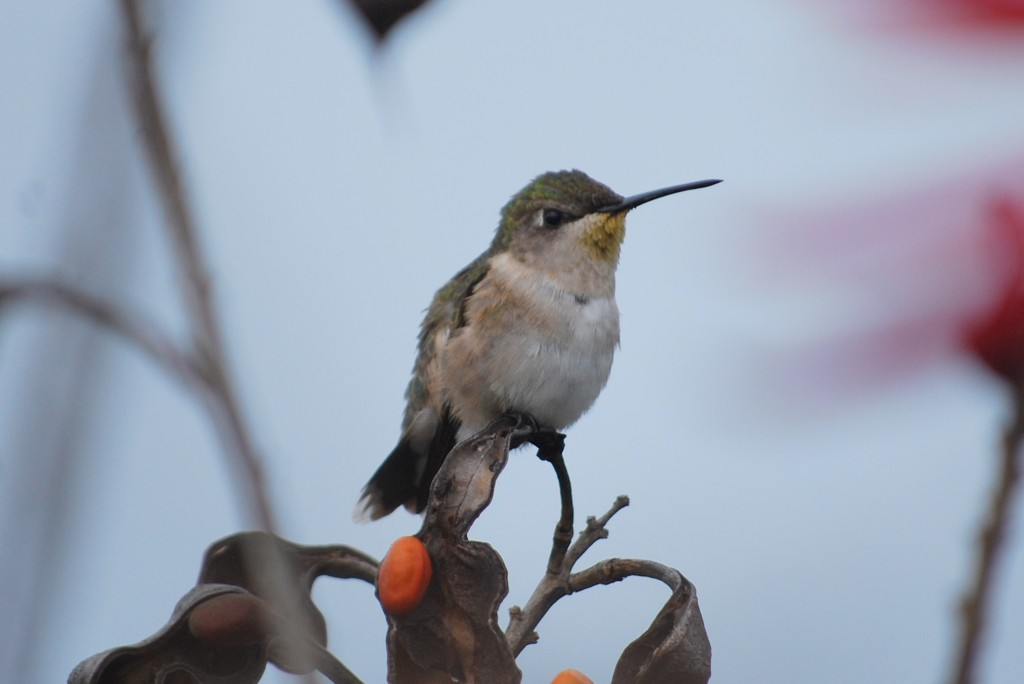 A female ruby-throated hummingbird (robijnkeelkolibrie).