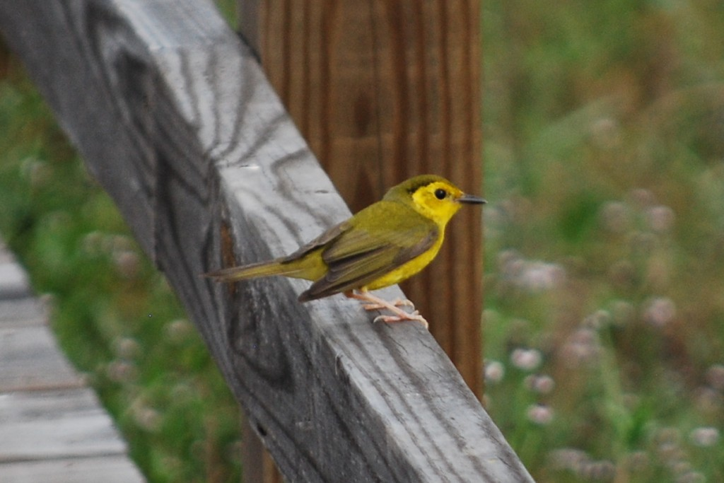 A female hooded warbler (monnikszanger).