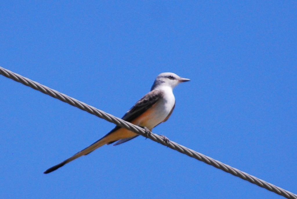 Scissor-tailed flycatcher.
