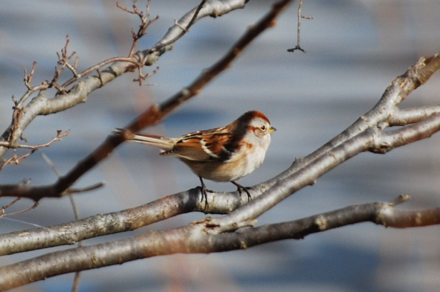 Earlier yesterday, at Barton Pond in northwestern Ann Arbor, I found this American tree sparrow. They breed in northern Canada and migrate south for winter. I've seen them before in Michigan, but never managed to catch one on camera.