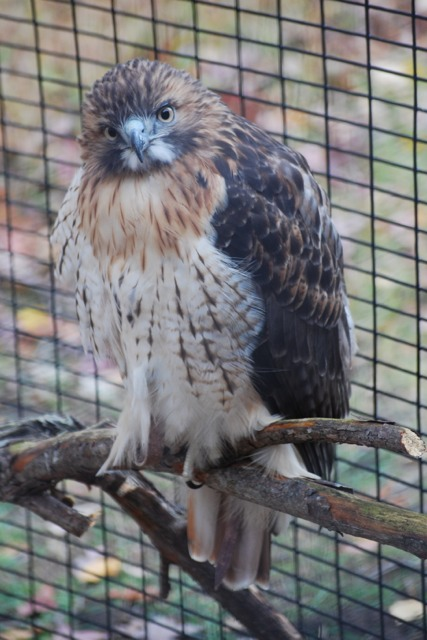 The Nature Center at Kensington is taking care of this injured red-tailed hawk, which cannot survive in the wild anymore.
