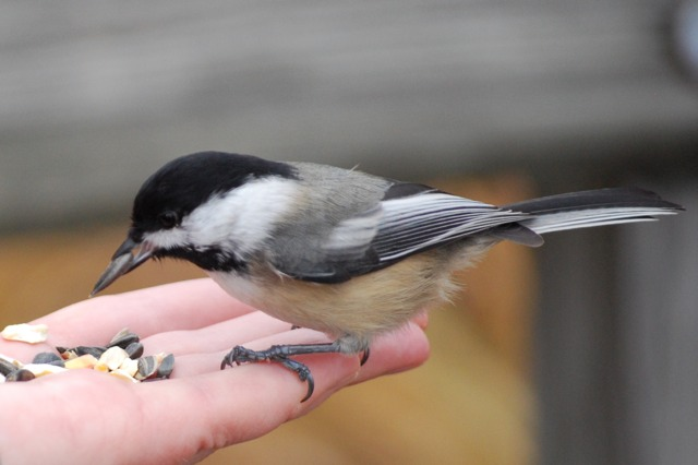 A chickadee picking a sunflower seed from Melissa's hand.