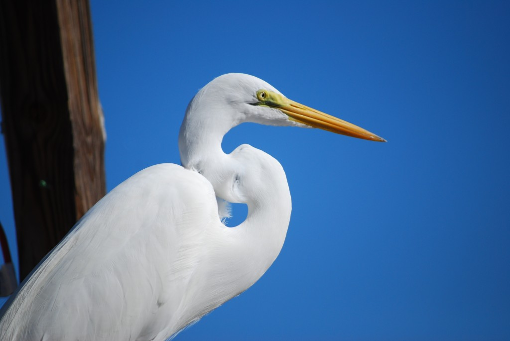 Our Castaways cottage was in the Sunset Bay Marina, where some of the resident birds are used to people and allow for wonderful close-up photography. This great egret (grote zilverreiger) posed extensively atop a small boat, just a few meters away from me.