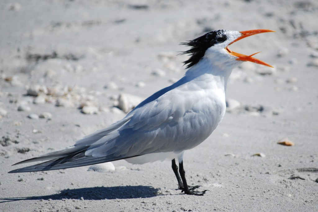 Keeey-y-yeer! (That's the sound that royal terns [koningssternen] make according to my field guide.)