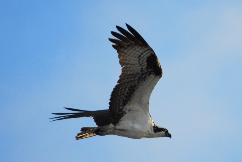 February is nesting season for ospreys (visarenden) in Florida.