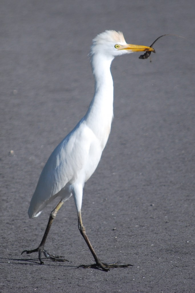 "On our third visit to ""Ding"" Darling, we spotted this cattle egret (koereiger) foraging by the side of the road. It caught an anole (small lizard) and carried it out into the road right in front of me. It was almost impossible not to get an awesome picture."