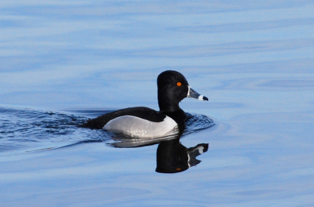 Male ring-necked duck (ringsnaveleend).