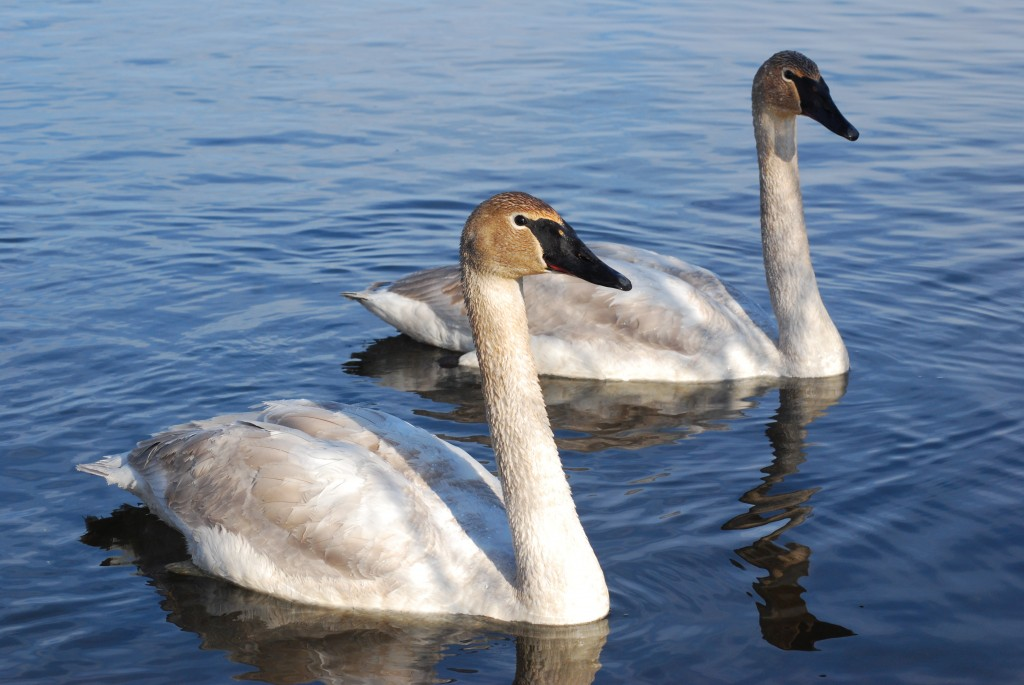 Two first-winter trumpeter swans (trompetzwanen).