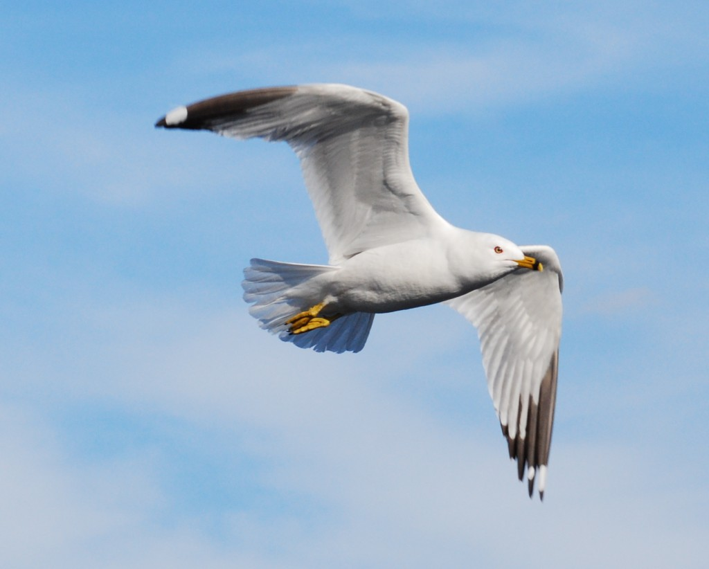 Ring-billed gull (ringsnavelmeeuw).