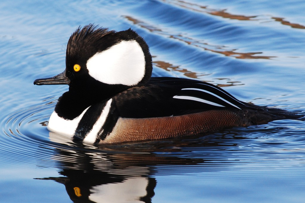 Male hooded merganser (kokardezaagbek).