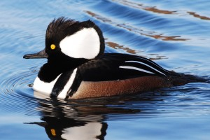 Male hooded merganser in Gallup Park, Ann Arbor, MI.