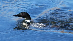 Common loon on Ford Lake, Ypsilanti, MI.