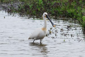 Eurasian spoonbill in the Veerpolder, Warmond, the Netherlands.