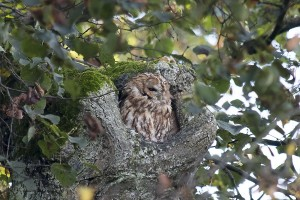 Tawny owl in the Nymphenburg Palace Gardens, Munich, Germany,