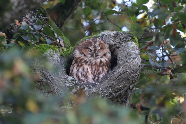 After admiring the palace, we spent some time looking at and photographing various ducks and geese. This caught the attention of a German gentleman, who asked if we wanted to see something more exciting. He pointed out this tawny owl (bosuil), dozing at the top of a tree.