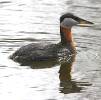 A red-necked grebe in breeding plumage (from public-domain-image.com).
